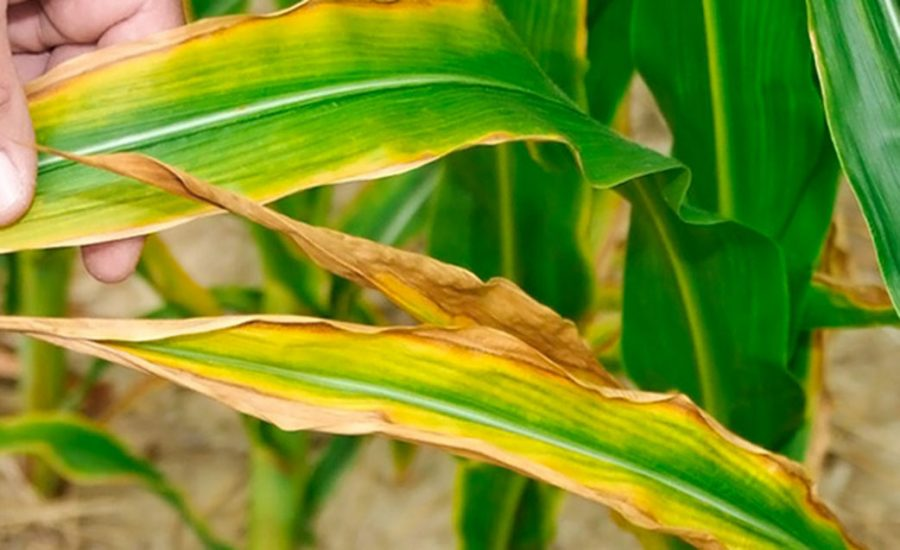 дефіцит елементів живлення у кукурудзи