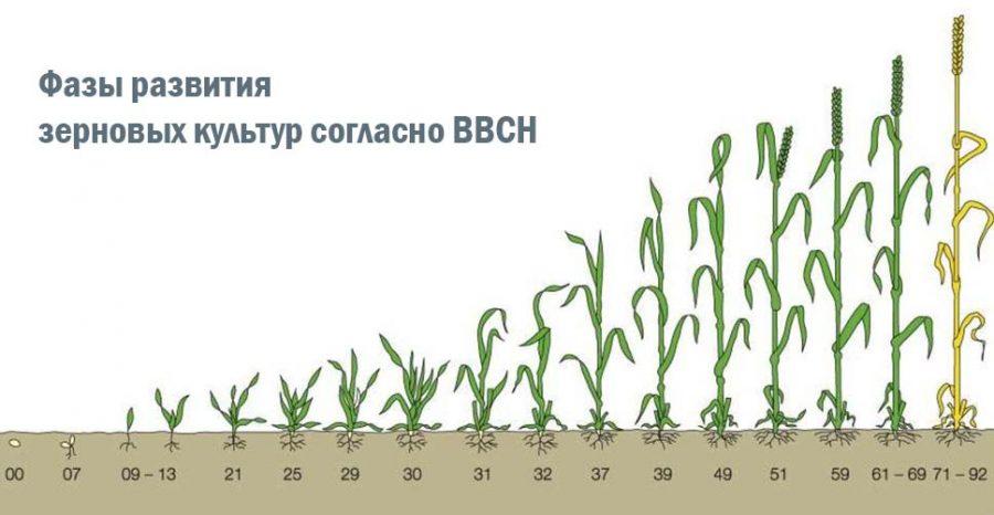 фазы развития зерновых культур